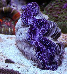 Our live corals on pinterest clams strawberry shortcake for Live saltwater fish for sale