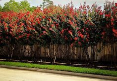 Buy Red Rocket Crape Myrtle Trees Online | The Tree Center™