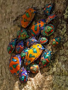 Hibiscus or Cotton Harlequin Bugs, is a large, brightly colored member of the Australian jewel bug fauna. The bug features iridescent blue patches on a bright orange background, and adults have an enlarged scutellum covering their entire dorsal surface. Males and females are different colors, with the females mostly orange and the males mostly blue-red