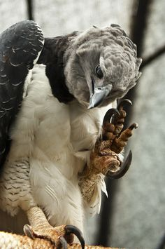 Harpy Eagle (Harpia harpyja) showing its claws. Harpy Eagle, biggest raptor in the world, South and Central America. HUGE claws, can kill an adult man easily! Pretty Birds, Love Birds, Beautiful Birds, Animals Beautiful, Aigle Harpie, Photo Aigle, Rapace Diurne, Wild Eagle, Animals And Pets