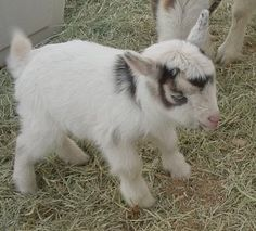 witty bitty goat <3