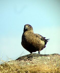 Bonxie on Handa Island on one of our Spring Birds holidays - photo by John Grierson.