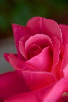 Salt Lake City Rose
