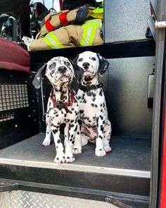Cute Puppies, Cute Dogs, Dogs And Puppies, Corgi Puppies, Big Dogs, Animals And Pets, Baby Animals, Dalmatian Dogs, Cute Funny Animals