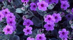 Giant Four O'Clock Flowers Flor Iphone Wallpaper, 1080p Wallpaper, Flower Wallpaper, Wallpapers, Romantic Flowers, Love Flowers, Beautiful Flowers, Glitter Flowers, Water Flowers