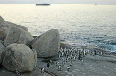 Visit Boulders Beach in Cape Town, the only place on earth where you can get up close to the endangered African Penguin - a bird that epitomises love. African Penguin, Boulder Beach, Bouldering, Creatures, Meet, Birds, Earth, Image, Bird