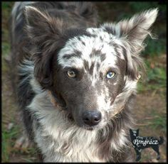 Gray merle Mudi. The Mudi is a rare herding dog breed from Hungary.