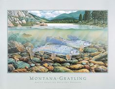 """The Montana Grayling is no longer on the endangered species list. """"The conservation of grayling in the Big Hole Valley is arguably one of the most significant conservation success stories in the nation,"""" Jeff Hagener, director of Montana Fish, Wildlife and Parks Please click on the link to read more from KPAX-TV http://www.kpax.com/news/arctic-grayling-avoids-federal-listing/ Monte Dolack, """"Montana Grayling"""", 1993"""