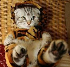 """cat in a tiger costume. His ears and eyes seem to say """"I will eat your face off when I manage to get out of this compromised position."""""""