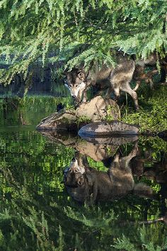 Wolf in Greens