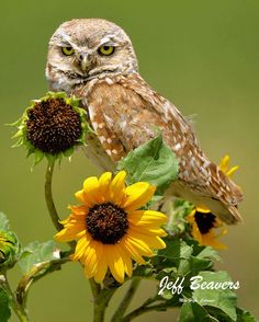 Never thought I'd see my two favorite things from nature together Burrowing Owl in Pueblo, Colorado with sunflowers