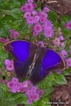 Purple Mort Bleu (Eryphanis polyxena), Costa Rica. Florida Museum of Natural History Lepidoptera Image Gallery, Alan Chin-Lee, photographer.