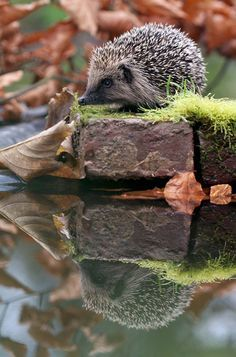 Hedgehogs get thirsty in dry weather and will often venture to ponds to drink. Make sure you provide a ramp and shallow exit points around your pond to prevent hedgehog deaths. Nature Animals, Animals And Pets, Baby Animals, Cute Animals, Woodland Creatures, Woodland Animals, Beautiful Creatures, Animals Beautiful, Photo Chat