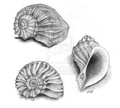 Pics For > Beach Shell Pencil Drawing