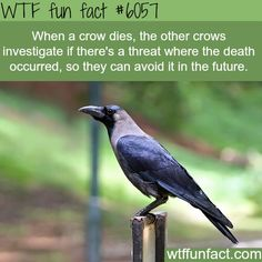 ... Crows ...