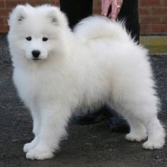 Such a fluffy little guy! Samoyed puppy :)