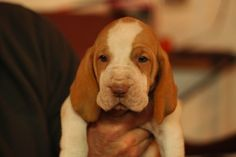 An Update on Ronny's Dogs -- Bracco Italiano #puppies