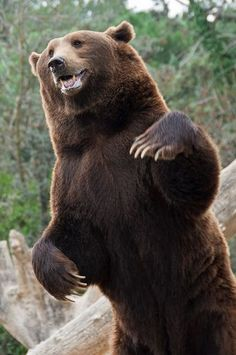 Very brown / Brown Bear - Very brown / Brown Bear - Amazing Animals, Most Beautiful Animals, Baby Panda Bears, Polar Bear, Baby Pandas, Baby Animals, Cute Animals, We Bear, Bear Pictures