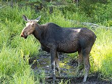 """Female (cow) - Alces alces is called a """"moose"""" in North American English, but an """"elk"""" in British English. That same word """"elk"""" in North American English refers to a completely different species of deer, the Cervus canadensis, also called the wapiti."""