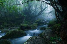 Yakushima Island, Japan   樹齢1000年以上のスギ原始林~神がやどる島~