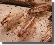 Exoraoch présente un mécanisme de capture simple et naturel pour les blattes sans utilisations de pesticides. Un piège robuste conçu pour résister à l'environnement difficile des cuisines industrielles; 1000 blattes peuvent être capturées avant de recharger. Exoroach doit être placé à proximité des endroits où ont été vues les blattes, les insectes vont être attirés …