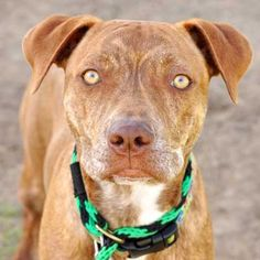 I love doing tricks for treats (Happy #Halloween!) and showing off how patient I can be. My ideal family will support me with guidance and I will provide the unconditional love! My name is Rosie and I'm an adoptable #dog in #SanDiego. #adopt me!