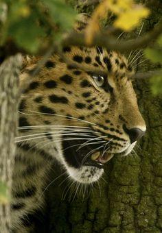 Leopard/ panthère