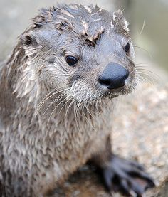American River Otter River Otter, Otters, Pets, American, Animals, Animales, Otter, Animaux, Animal
