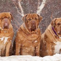#Mastiff #Dogs