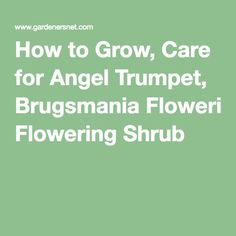 How to Grow, Care for Angel Trumpet, Brugsmania Flowering Shrub Garden Shrubs, Flowering Shrubs, Angel Trumpet Plant, Moon Garden, Trumpets, Ornamental Plants, Shade Plants, Growing Plants, Gardening Tips
