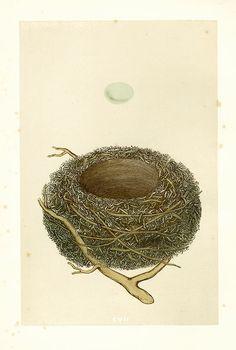 antique+bird+nest+and+egg+print.jpg 575×853 pixels