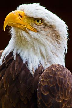 Eagle by Zoe Wood, via Eagle Images, Eagle Pictures, Eagle Wallpaper, Animal Wallpaper, Beautiful Birds, Animals Beautiful, Eagle Artwork, Aigle Animal, Bold Eagle