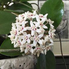 hoya australis flower