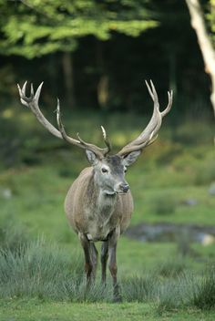 A bull wapiti stands on the edge of the woods.Bavarian Forest National Park, Germany.