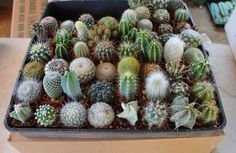 - ***Current cacti selection is very limited and similar in appearance, mainly 3-4 types. - we have many that are rooting but they will not be available until after June or so. If looking for more var