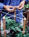 Star tomato support - A terra-cotta pot paired with these supports is ideal for determinate tomatoes, which don't grow as tall as indeterminate varieties. Drive five 1-by-1-inch stakes into soil, to bottom of pot; stakes should be long enough to stand 4 feet above the soil. Plant a seedling in center of the pot. Wind nylon twine star shapes around stakes at 6-inch intervals.