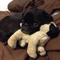 Amor Pug, Baby Animals, Funny Animals, Cute Animals, I Love Dogs, Puppy Love, Pugs And Kisses, Cute Pugs, Adorable Dogs