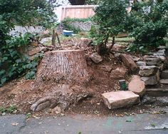 corner peach & howell before ivy grew over camphor tree stump 2012 rocks rearranged