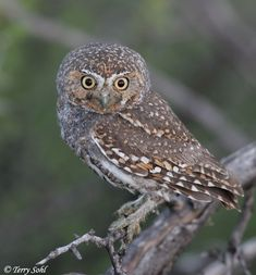 elf owl images - Google Search