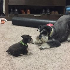 """251 Likes, 10 Comments - Kodiak & Grizzly (@brotherbears.minischnauzers) on Instagram: """"Our first wrestling match """""""