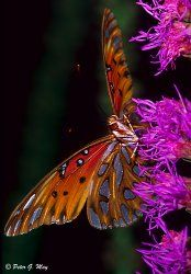 fritillary butterfly passion vine