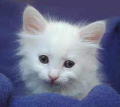 Turkish Angora Cat Breed Information, Pictures, Characteristics & Facts