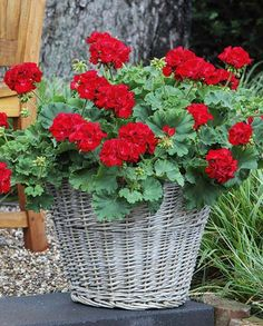 Indoor Gardening Quick, Clean Up, And Pesticide Free - Make Your Own Pelargonium Giant Rosebud Cumbanita Red Container Flowers, Container Plants, Container Gardening, Red Flowers, Beautiful Flowers, Easy Plants To Grow, Red Geraniums, Garden Planters, Garden Planning