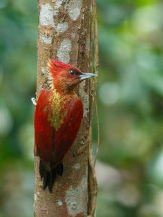 banded woodpecker par Wei Kuan Tay on 500px