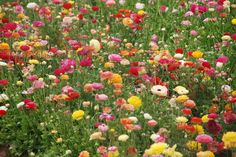 If you love flowers then you need to visit the Flower Fields of Carlsbad, CA.  Or just check it out here.