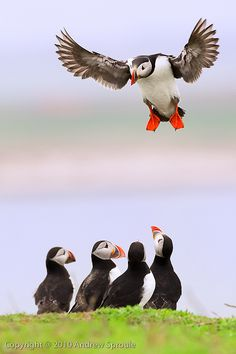 Atlantic Puffin (Fratercula arctica) by Andrew Sproule, via Flickr