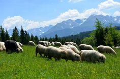 Zajrzyj: http://puszystaowca.pl/wypas-owiec-jozefow/