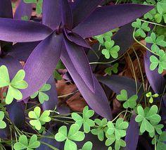 "SHADE Beautiful ""purple heart wandering jew"" plant"