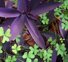 Pastel wandering jew and outdoors on pinterest - Wandering jew care ...