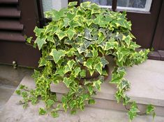 7 magical plants that will clean and purify the air in your home. Foliage Plants, Potted Plants, Indoor Plants, Ivy Houseplant, Houseplants, Types Of Ivy, Ivy Look, Plants For Hanging Baskets, Fast Growing Plants